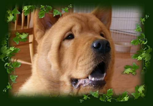 Cejam Chows - Puppies -